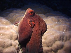 Common reef octopus walking at night, Octopus cyanea, UP3432 Stock Footage