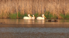 American White Pelican Stock Footage