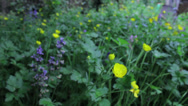 Stock Video Footage of Buttercups and Bluebells