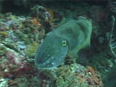 Broadclub cuttlefish swimming, Sepia latimanus, UP3453 Stock Footage