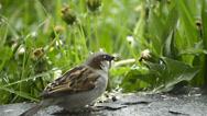 Sparrow eats seeds of dandelion Stock Footage