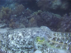 Broadclub cuttlefish swimming, Sepia latimanus, UP3463 Stock Footage