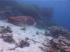 Stock Video Footage of Molluscs | Cuttlefish | Broadclub Cuttlefish | Wide Shot
