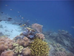 Stock Video Footage of Molluscs | Cuttlefish | Broadclub Cuttlefish | Shallow Coral Reef | Wide Shot