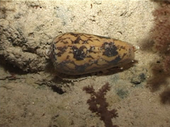 Striated cone snail walking at night, Conus striatus, UP3477 Stock Footage