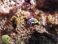 Elizabeth's yellow blue black slug, Chromodoris elizabethina, UP3494 Stock Footage