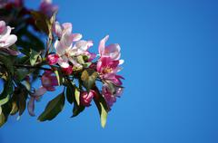 Pink cherry blossom over blue sky Stock Photos