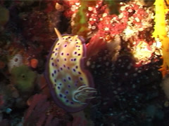 Purple spot skirt lifter slug walking, Chromodoris kuniei, UP3503 Stock Footage