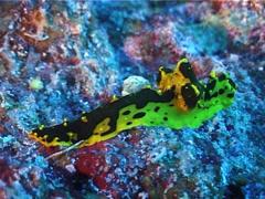 Yellow and black lumpy slug, Notodoris gardineri, UP3513 Stock Footage