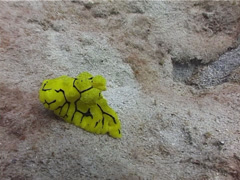 Giant yellow nudibranch, Notodoris minor, UP3515 Stock Footage