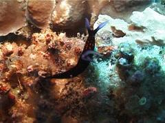 Blue gill orange line black slug walking, Roboastra gracilis, UP3539 Stock Footage