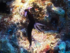 Blue gill orange line black slug walking, Roboastra gracilis, UP3541 Stock Footage