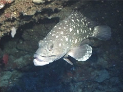 Fish | Groupers | White-spotted Grouper | Zoom In Shot - stock footage