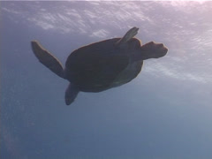 Stock Video Footage of Reptiles | Sea Turtles | Green Turtle | Wide Shot