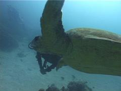 Loggerhead turtle swimming, Caretta caretta, UP3581 Stock Footage