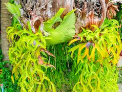staghorn ferns - stock photo