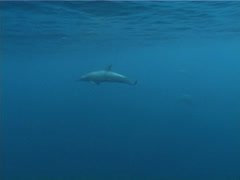 Spinner dolphins swimming in bluewater, Stenella longirostris, UP3726 Stock Footage