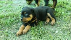 Rottweiler  doggy Stock Footage