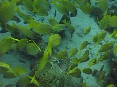 Titan triggerfish feeding, Balistoides viridescens, UP3740 Stock Footage