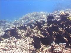 Bicolor parrotfish feeding, Cetoscarus bicolor, UP3746 Stock Footage