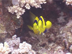 Bicolor angelfish hovering, Centropyge bicolor, UP3790 Stock Footage