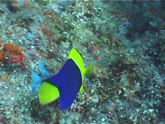 Bicolor angelfish feeding, Centropyge bicolor, UP3792 Stock Footage