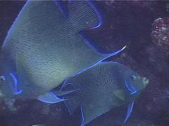 Semicircle angelfish swimming, Pomacanthus semicirculatus, UP3803 Stock Footage