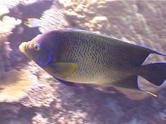 Semicircle angelfish swimming, Pomacanthus semicirculatus, UP3805 Stock Footage