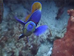 Blue-girdled angelfish hovering, Pomacanthus navarchus, UP3806 Stock Footage