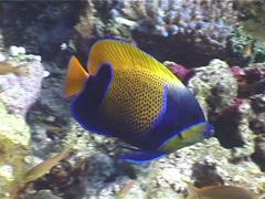 Blue-girdled angelfish swimming, Pomacanthus navarchus, UP3808 Stock Footage