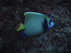 Emperor angelfish cleaning and being cleaned, Pomacanthus imperator, UP3822 Stock Footage