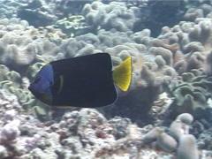 Queensland yellowtail angelfish swimming, Chaetodontoplus meredithi, UP3831 Stock Footage