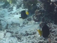 Queensland yellowtail angelfish swimming, Chaetodontoplus meredithi, UP3832 Stock Footage