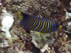Regal angelfish swimming, Pygoplites diacanthus, UP3844 - stock footage