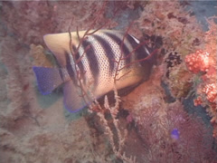 Six-banded angelfish feeding, Pomacanthus sexstriatus, UP3853 Stock Footage