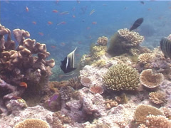 Six-banded angelfish swimming, Pomacanthus sexstriatus, UP3858 Stock Footage