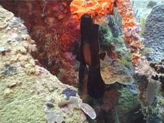 Juvenile Longfin batfish hovering, Platax pinnatus, UP3890 Stock Footage