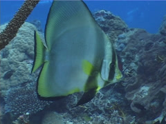 Fish | Batfish | Longfin Batfish | Medium Shot | Scuba Diver Stock Footage