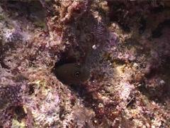 Bicolor coralblenny hiding, Ecsenius bicolor, UP3906 Stock Footage