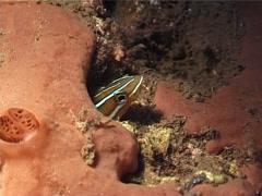 Bluestriped fangblenny hiding at night, Plagiotremus rhinorhynchos, UP3914 Stock Footage
