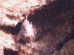 Jewelled blenny, Salarias fasciatus, UP3917 Stock Footage