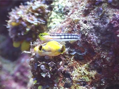 Axelrod's coralblenny, Ecsenius axelrodi, UP3920 Stock Footage