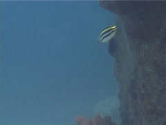 Striped fangblenny swimming, Meiacanthus grammistes, UP3930 Stock Footage