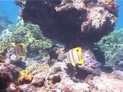 Beaked coralfish swimming, Chelmon rostratus, UP3935 Stock Footage