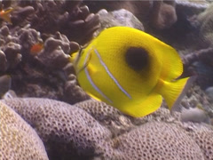 Bennett's butterflyfish swimming, Chaetodon bennetti, UP3938 Stock Footage