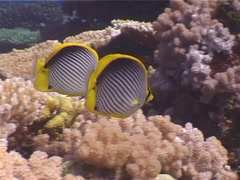 Blackbar butterflyfish swimming, Chaetodon melannotus, UP3940 Stock Footage
