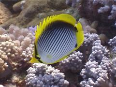 Blackbar butterflyfish feeding, Chaetodon melannotus, UP3941 Stock Footage