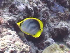 Blackbar butterflyfish feeding, Chaetodon melannotus, UP3945 Stock Footage