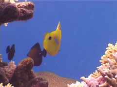 Bluespot butterflyfish swimming, Chaetodon plebeius, UP3947 Stock Footage