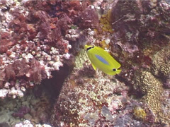 Bluespot butterflyfish swimming, Chaetodon plebeius, UP3949 Stock Footage